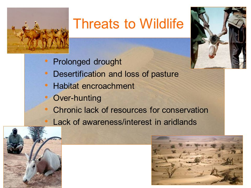 Prolonged drought Desertification and loss of pasture Habitat encroachment Over-hunting Chronic lack of resources for conservation Lack of awareness/i