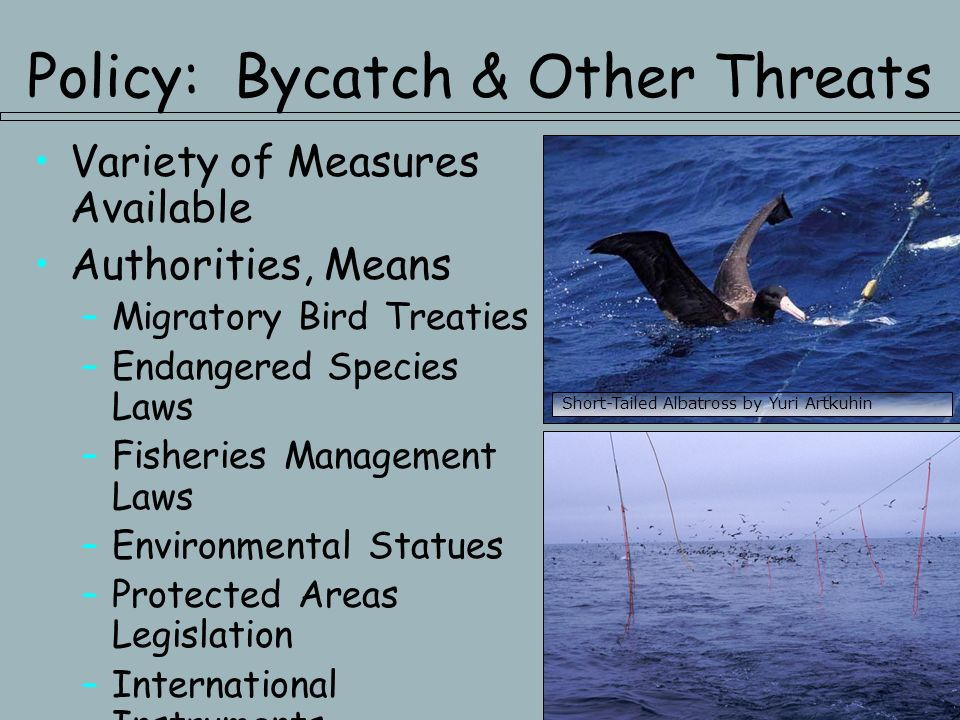 Policy: Bycatch & Other Threats Variety of Measures Available Authorities, Means –Migratory Bird Treaties –Endangered Species Laws –Fisheries Management Laws –Environmental Statues –Protected Areas Legislation –International Instruments Short-Tailed Albatross by Yuri Artkuhin