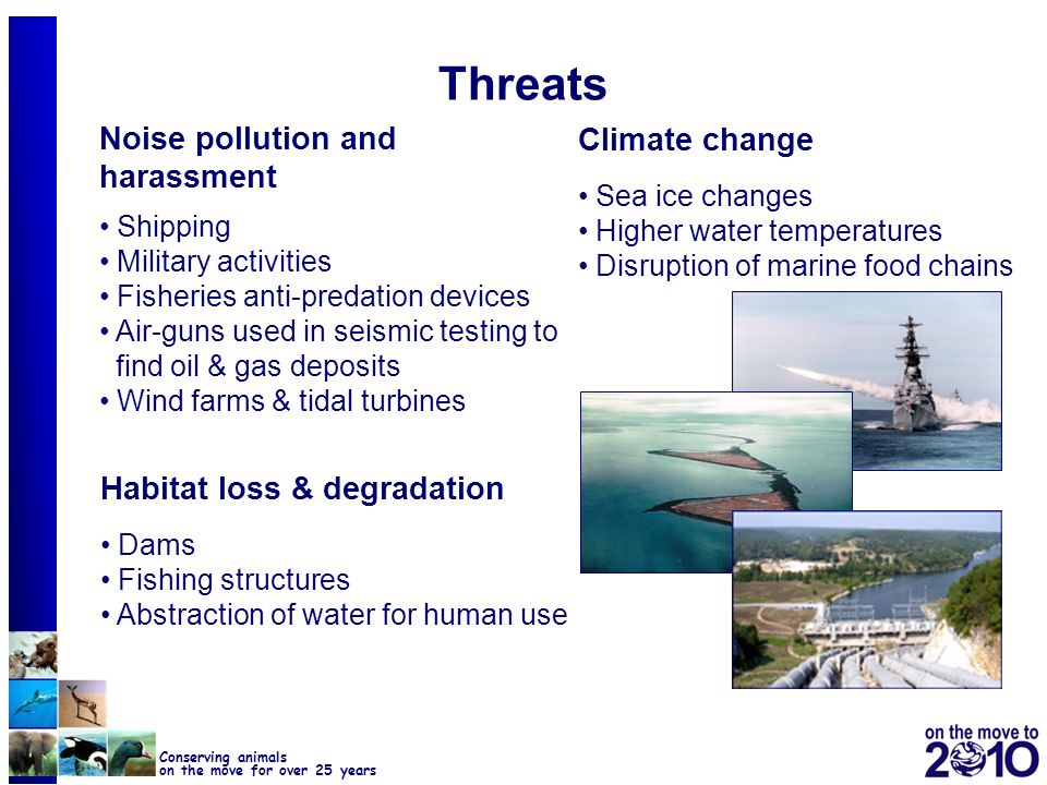 10 Conserving animals on the move for over 25 years Adverse Human Induced Impacts on Cetaceans CMS Resolution 8.22 CoP of CMS identified ship strikes, marine noise, entanglement & by-catch, pollution, habitat & feeding ground degradation, which pose direct & indirect threats to the conservation of cetacean population urges Parties to integrate cetacean conservation into other policy sectors requests the Secretariat to cooperate with other organisations (IWC, Regional Seas Programmes, Regional Fisheries Management Organisations) to promote the Conventions aim instructs CMS bodies to draw this resolution to the attention of other relevant intergovernmental organizations (e.g.