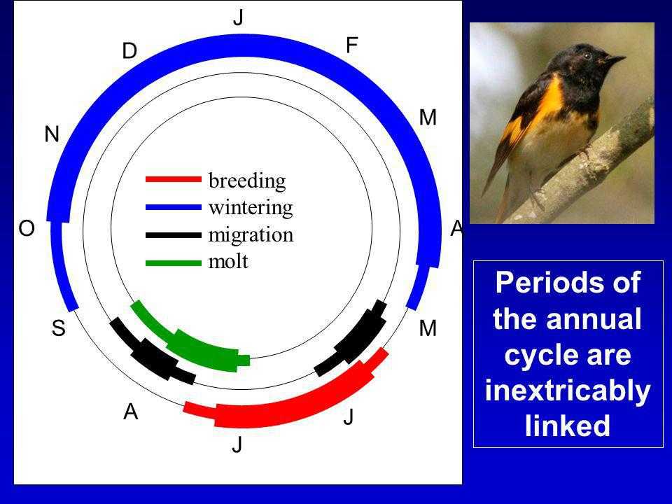 J F M A M J J A S O N D breeding wintering migration molt Periods of the annual cycle are inextricably linked