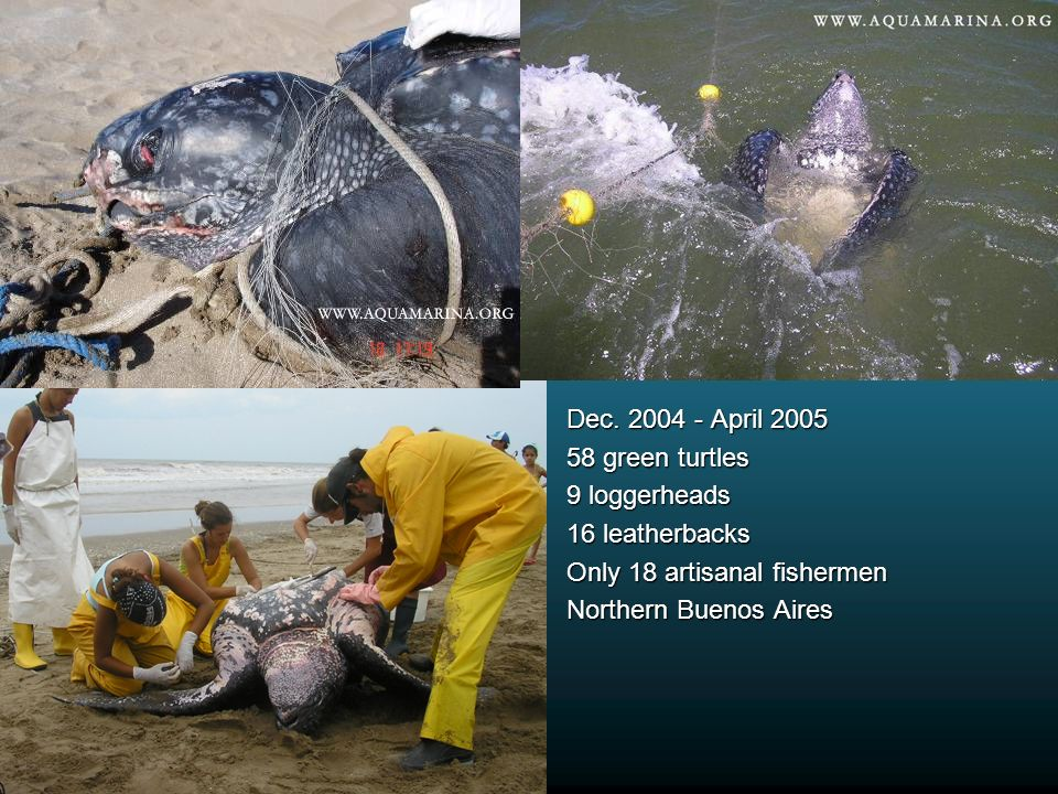 Dec. 2004 - April 2005 58 green turtles 9 loggerheads 16 leatherbacks Only 18 artisanal fishermen Northern Buenos Aires