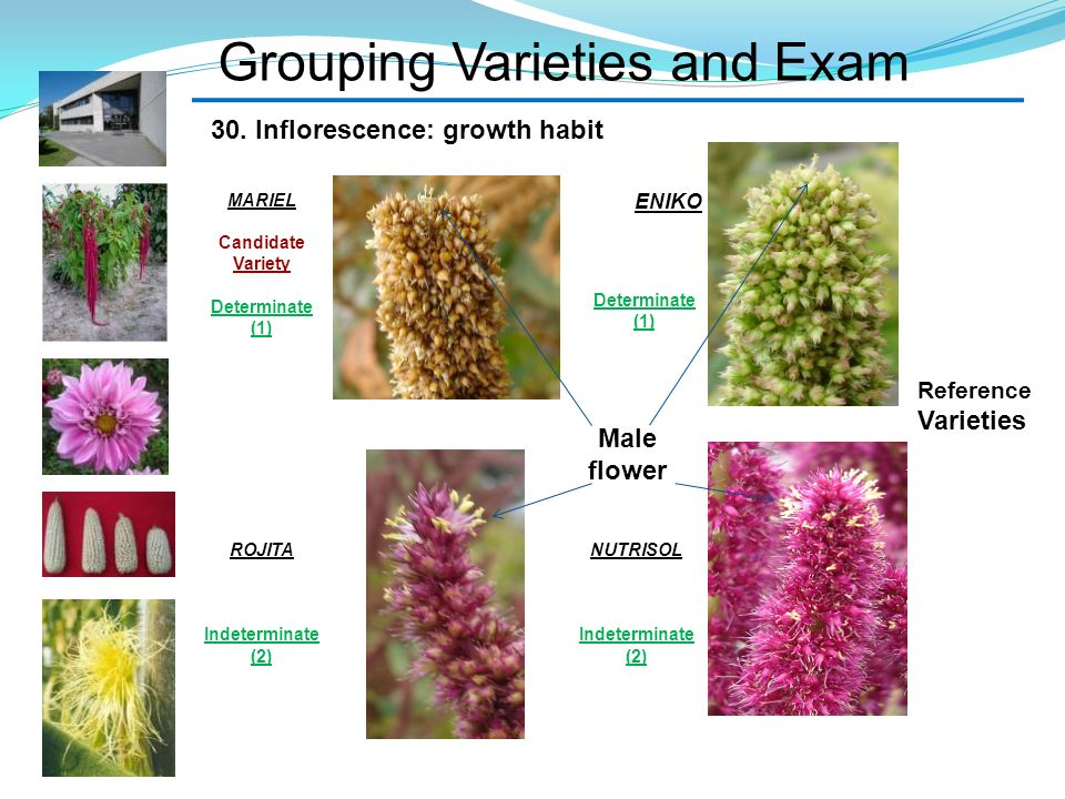 Grouping Varieties and Exam ROJITA Indeterminate (2) 30. Inflorescence: growth habit MARIEL Candidate Variety Determinate (1) Male flower Reference Va