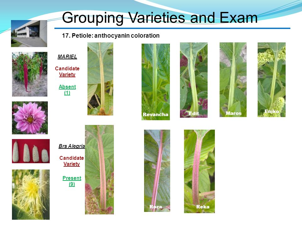 Grouping Varieties and Exam 17. Petiole: anthocyanin coloration Revancha Edit Maros Eniko RekaRoza MARIEL Candidate Variety Absent (1) Brs Alegría Can