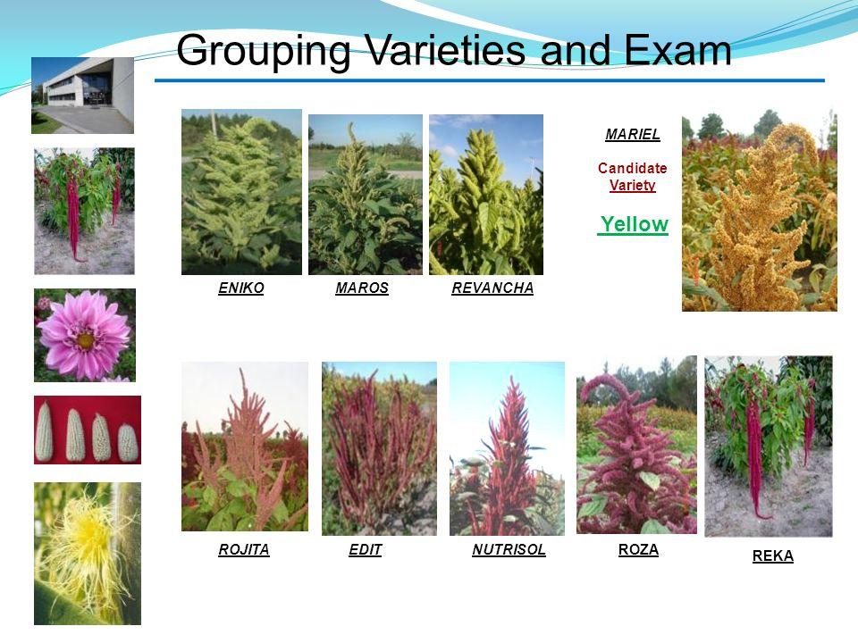 Grouping Varieties and Exam MAROSENIKOREVANCHA ROJITAEDITNUTRISOL MARIEL Candidate Variety Yellow REKA ROZA