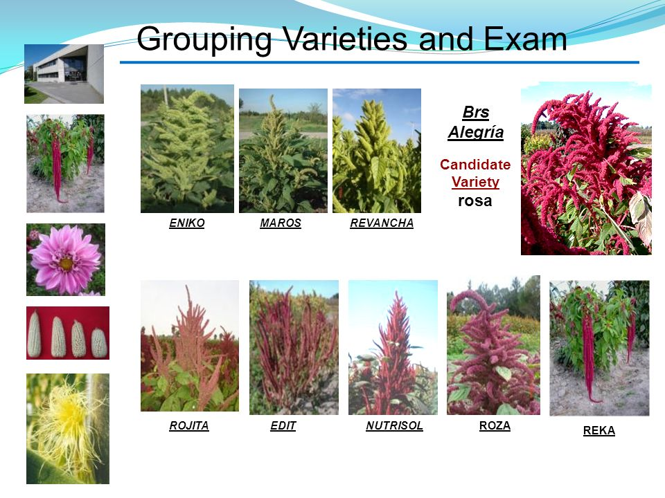 Grouping Varieties and Exam MAROSENIKOREVANCHA ROJITAEDITNUTRISOL REKA ROZA Brs Alegría Candidate Variety rosa