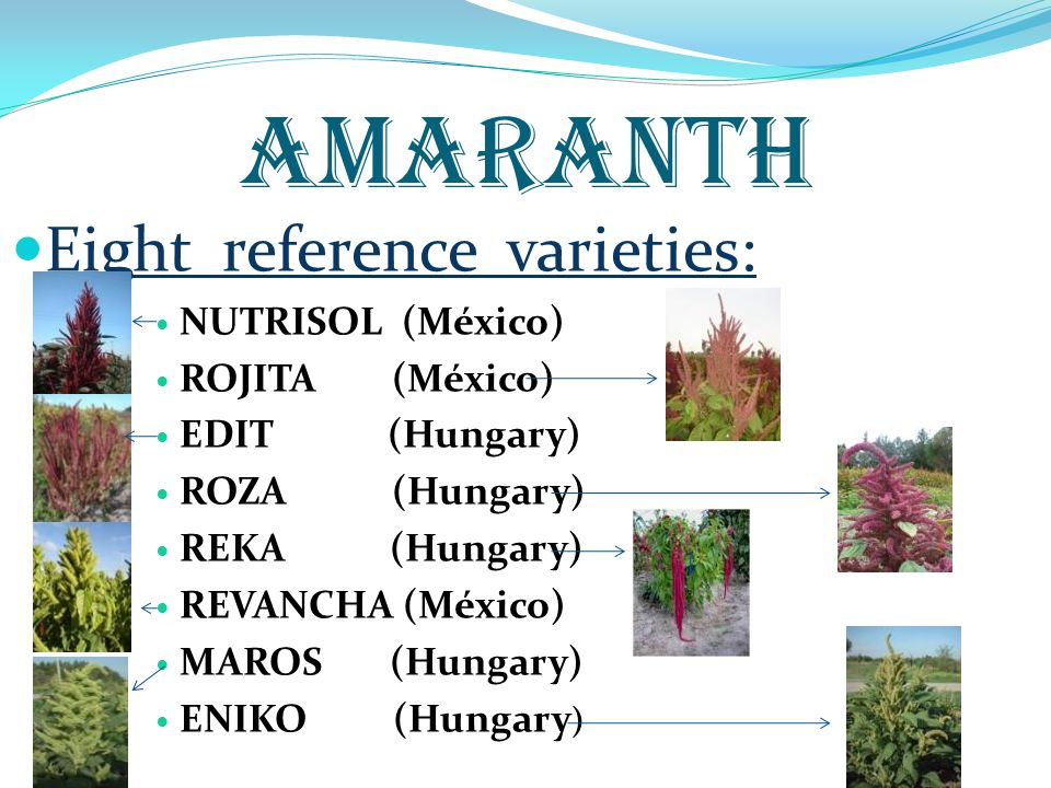 AMARANTH Eight reference varieties: NUTRISOL (México) ROJITA (México) EDIT (Hungary) ROZA (Hungary) REKA (Hungary) REVANCHA (México) MAROS (Hungary) E