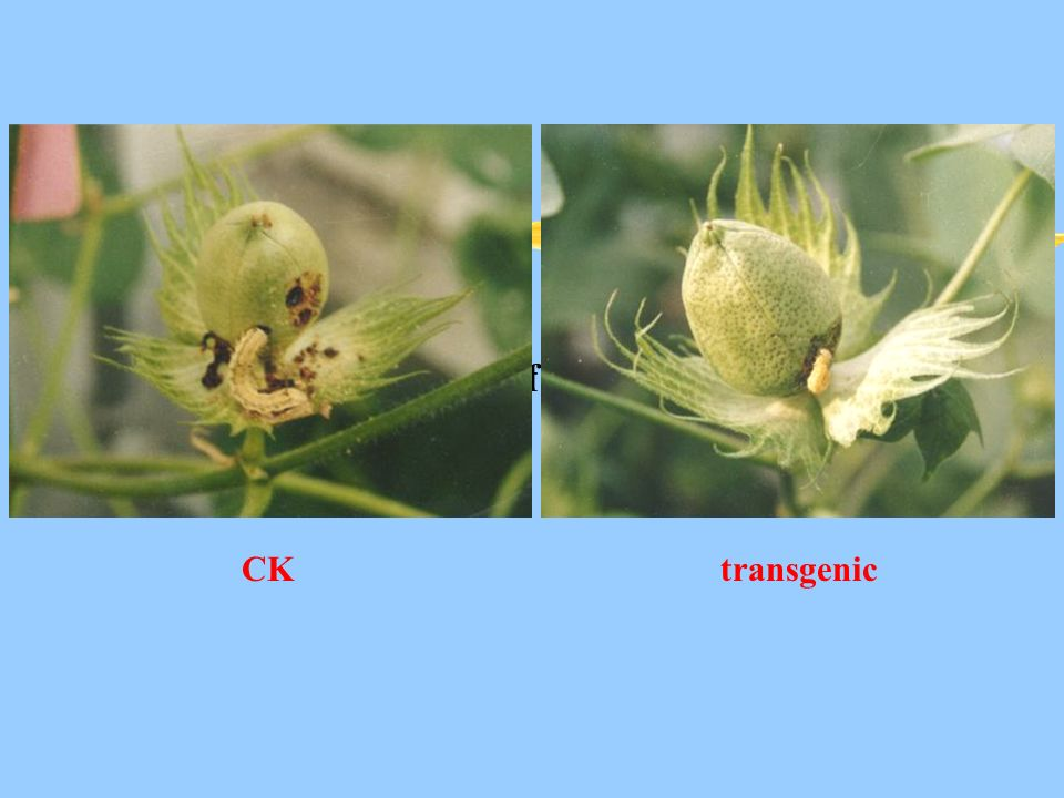 Fig 1. Bioassay of transgenic cotton CKtransgenic