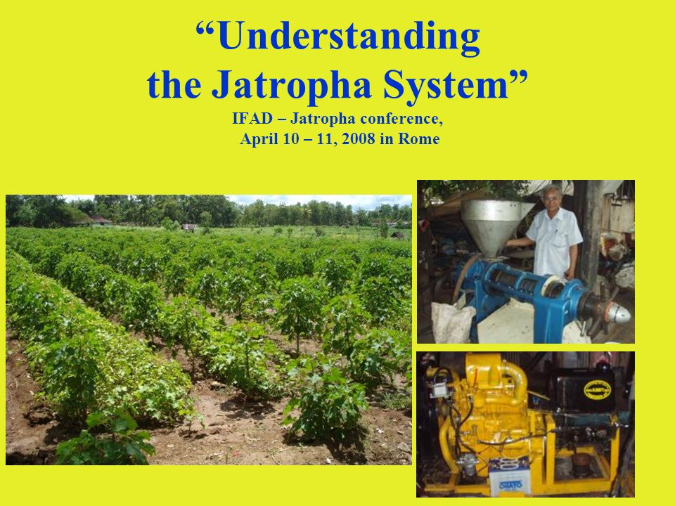 1 Understanding the Jatropha System IFAD – Jatropha conference, April 10 – 11, 2008 in Rome