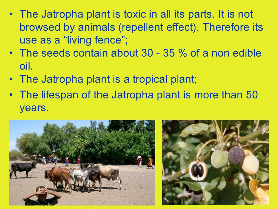 10 The Jatropha plant is toxic in all its parts. It is not browsed by animals (repellent effect). Therefore its use as a living fence; The seeds conta