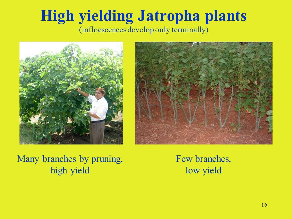 16 High yielding Jatropha plants (infloescences develop only terminally) Many branches by pruning, high yield Few branches, low yield