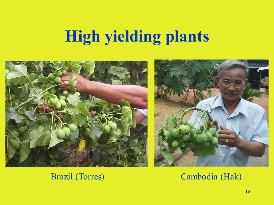 18 High yielding plants Brazil (Torres)Cambodia (Hak)