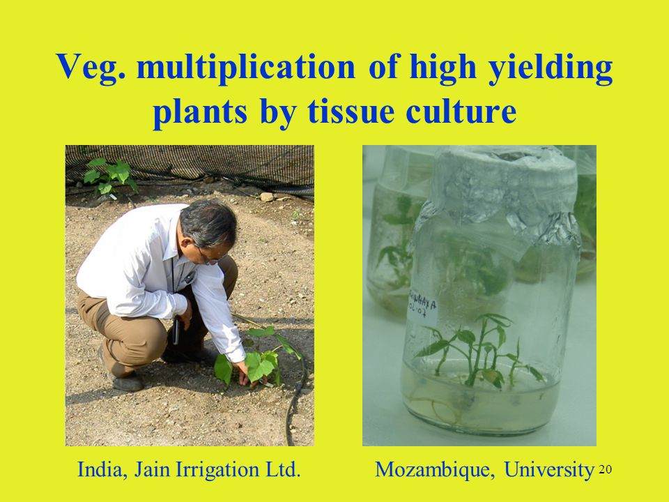 20 Veg. multiplication of high yielding plants by tissue culture India, Jain Irrigation Ltd.Mozambique, University