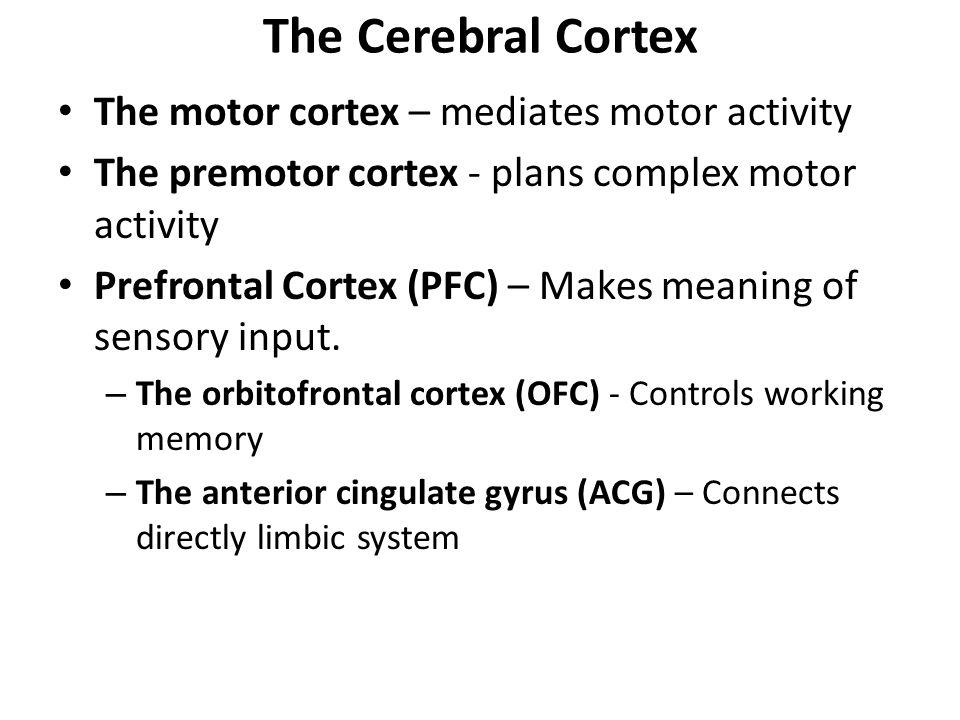 The Cerebral Cortex The motor cortex – mediates motor activity The premotor cortex - plans complex motor activity Prefrontal Cortex (PFC) – Makes mean