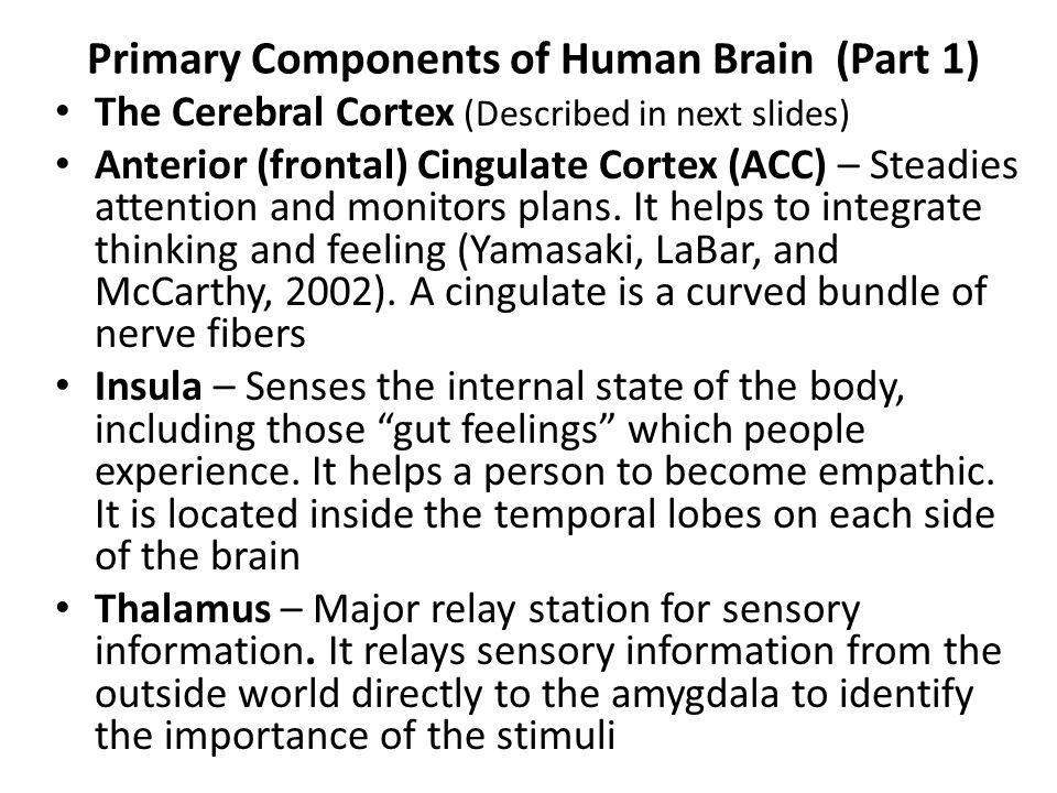 Primary Components of Human Brain (Part 1) The Cerebral Cortex (Described in next slides) Anterior (frontal) Cingulate Cortex (ACC) – Steadies attenti