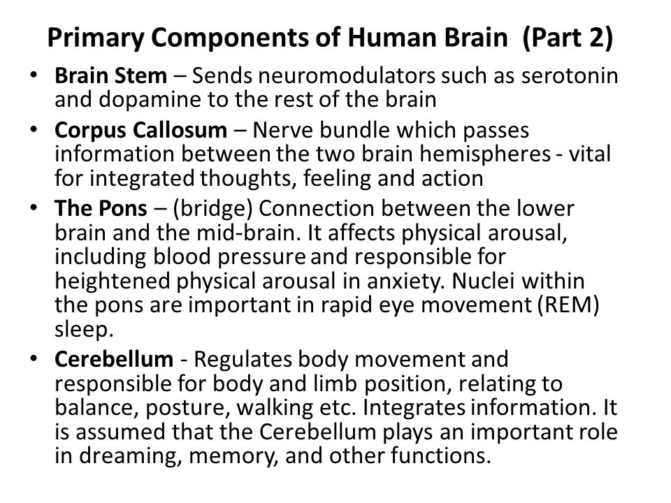 Primary Components of Human Brain (Part 2) Brain Stem – Sends neuromodulators such as serotonin and dopamine to the rest of the brain Corpus Callosum