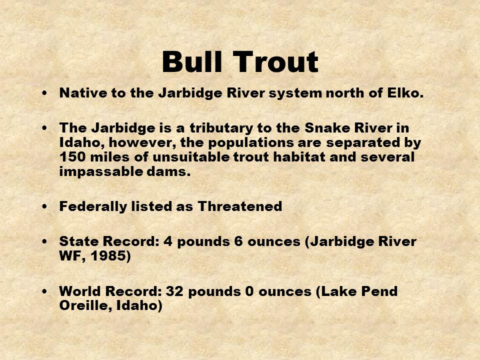 Bull Trout Native to the Jarbidge River system north of Elko. The Jarbidge is a tributary to the Snake River in Idaho, however, the populations are se