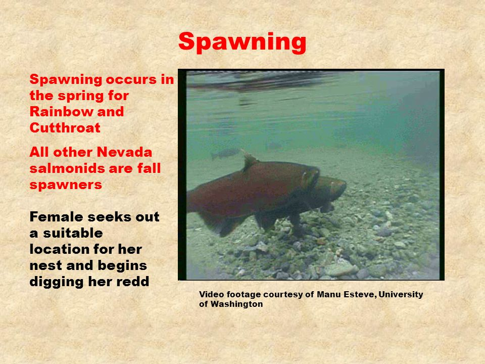 Spawning Spawning occurs in the spring for Rainbow and Cutthroat All other Nevada salmonids are fall spawners Female seeks out a suitable location for