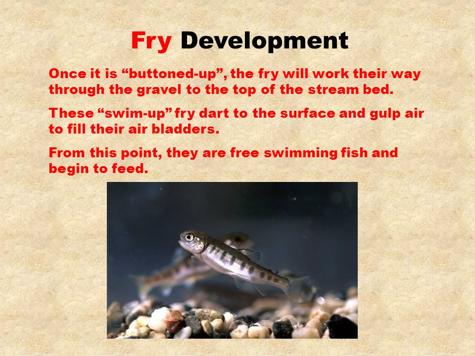 Once it is buttoned-up, the fry will work their way through the gravel to the top of the stream bed. These swim-up fry dart to the surface and gulp ai