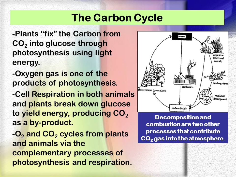 The Carbon Cycle -Plants fix the Carbon from CO 2 into glucose through photosynthesis using light energy. -Oxygen gas is one of the products of photos