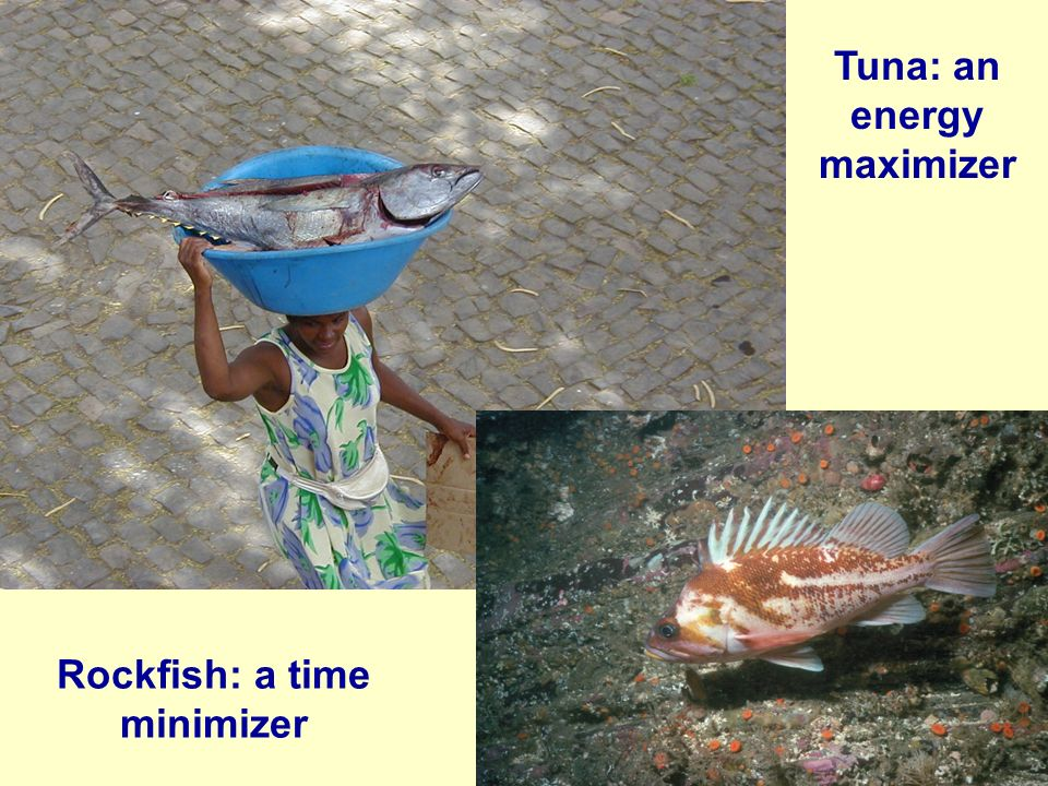 Tuna: an energy maximizer Rockfish: a time minimizer