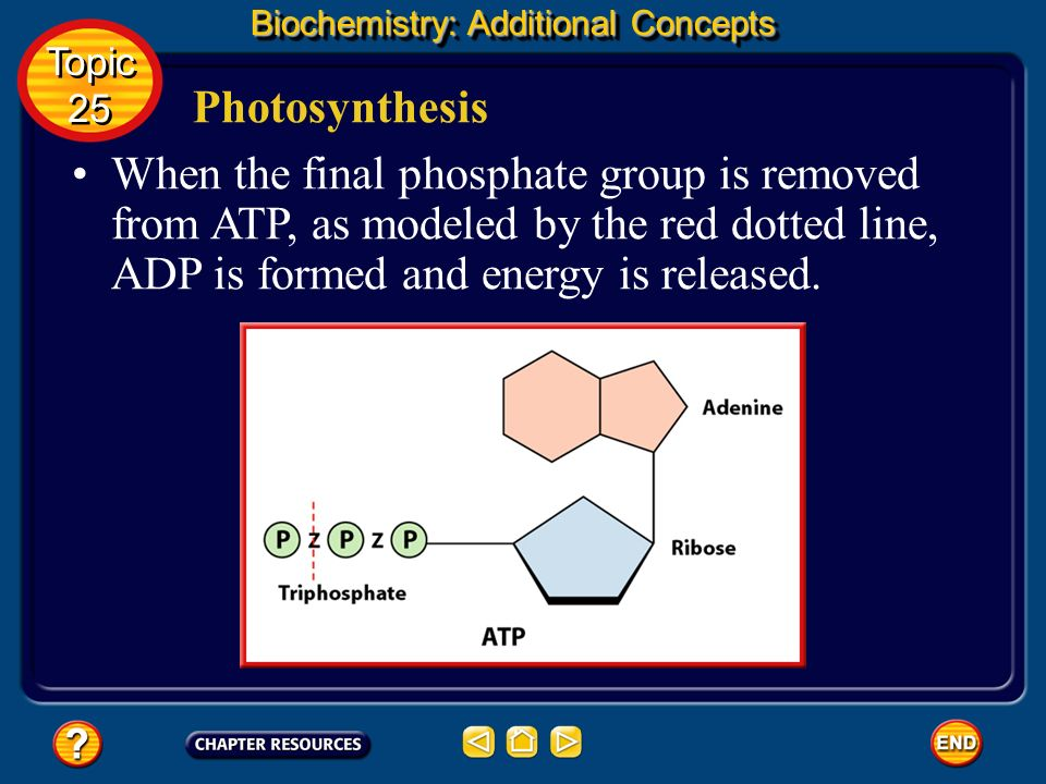 Biochemistry: Additional Concepts Photosynthesis ATP is a nucleotide that contains an adenine nitrogen base, a ribose sugar, and three phosphate group