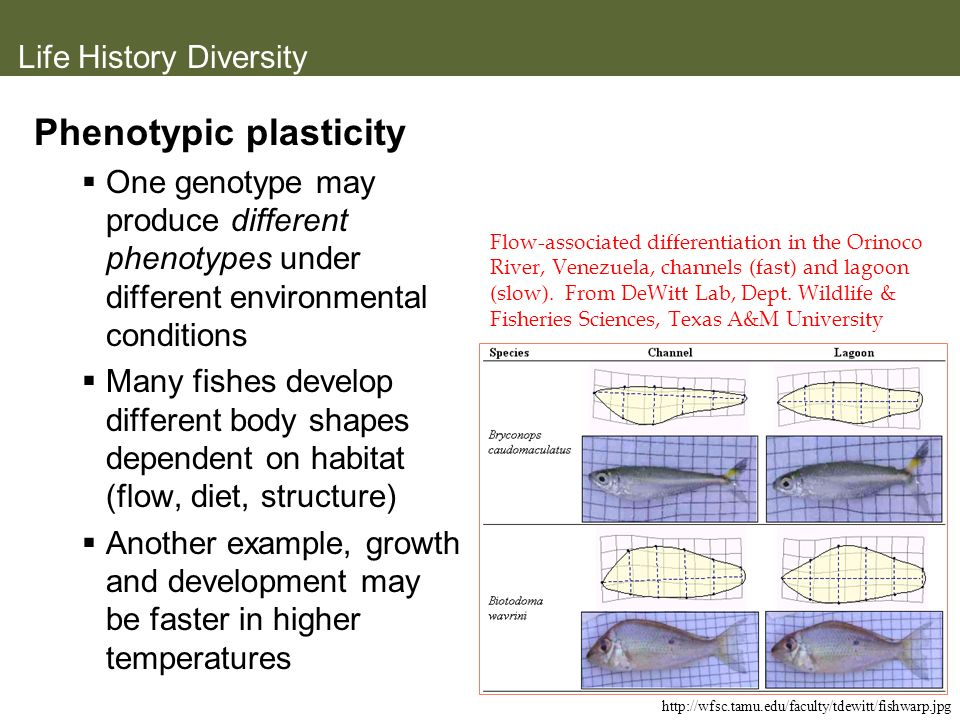 Life History Diversity Phenotypic plasticity One genotype may produce different phenotypes under different environmental conditions Many fishes develo
