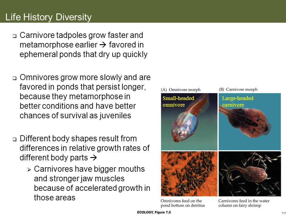Small-headed omnivore Large-headed carnivore Life History Diversity Carnivore tadpoles grow faster and metamorphose earlier favored in ephemeral ponds