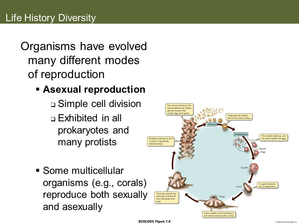 Life History Diversity Organisms have evolved many different modes of reproduction Asexual reproduction Simple cell division Exhibited in all prokaryo