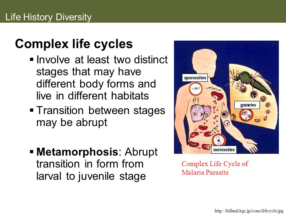 Life History Diversity Complex life cycles Involve at least two distinct stages that may have different body forms and live in different habitats Tran