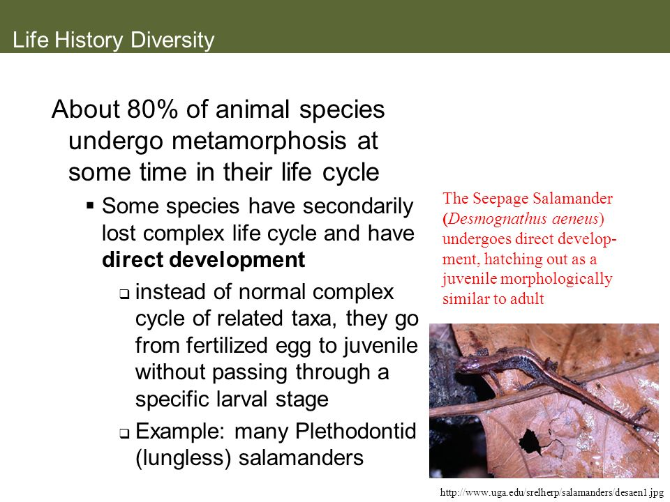 Life History Diversity About 80% of animal species undergo metamorphosis at some time in their life cycle Some species have secondarily lost complex l