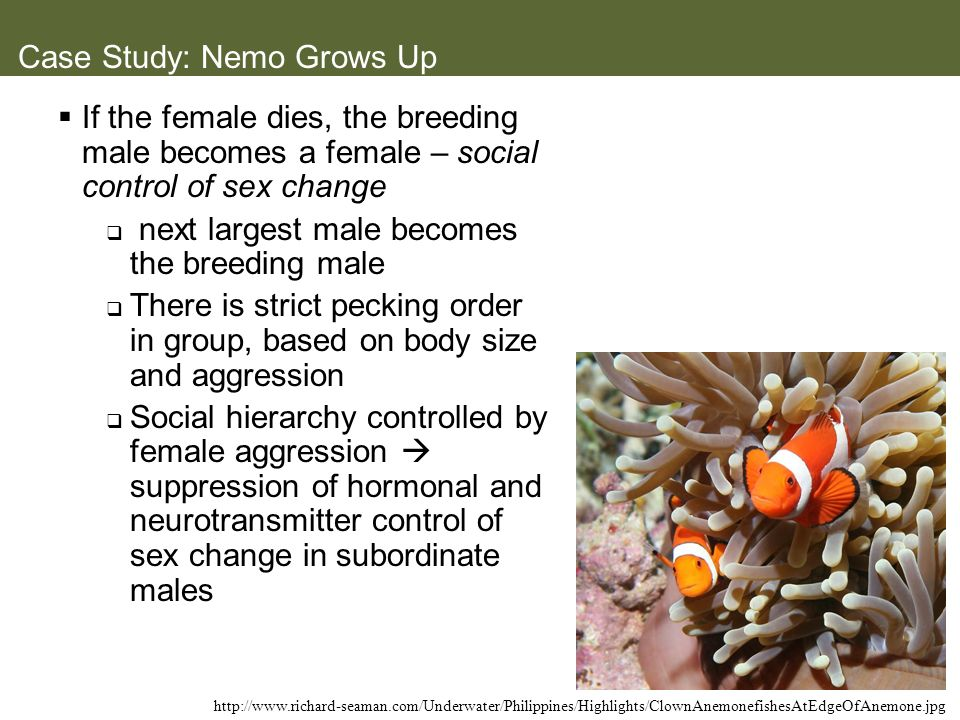 Case Study: Nemo Grows Up If the female dies, the breeding male becomes a female – social control of sex change next largest male becomes the breeding