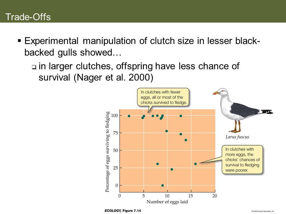 Trade-Offs Experimental manipulation of clutch size in lesser black- backed gulls showed… in larger clutches, offspring have less chance of survival (