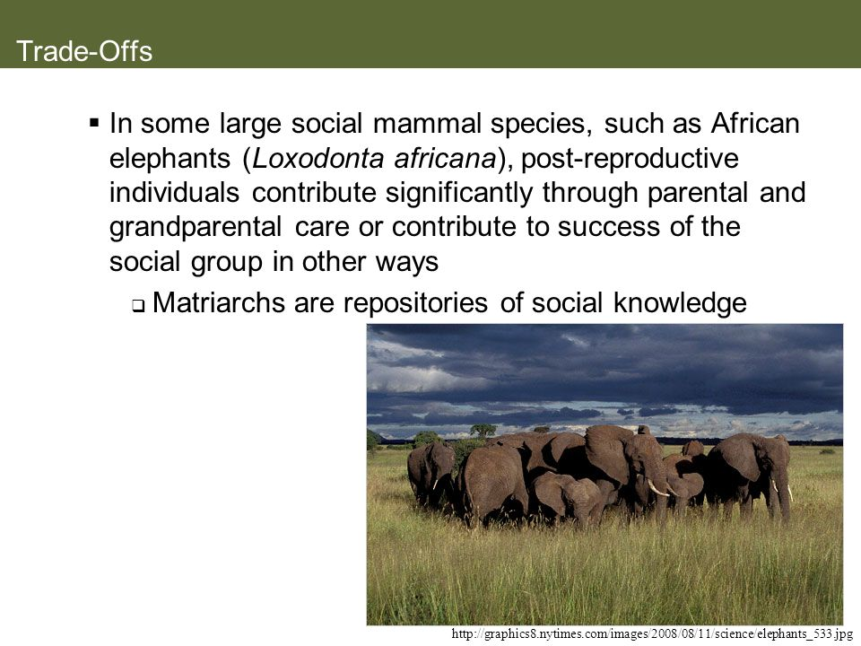 Trade-Offs In some large social mammal species, such as African elephants (Loxodonta africana), post-reproductive individuals contribute significantly
