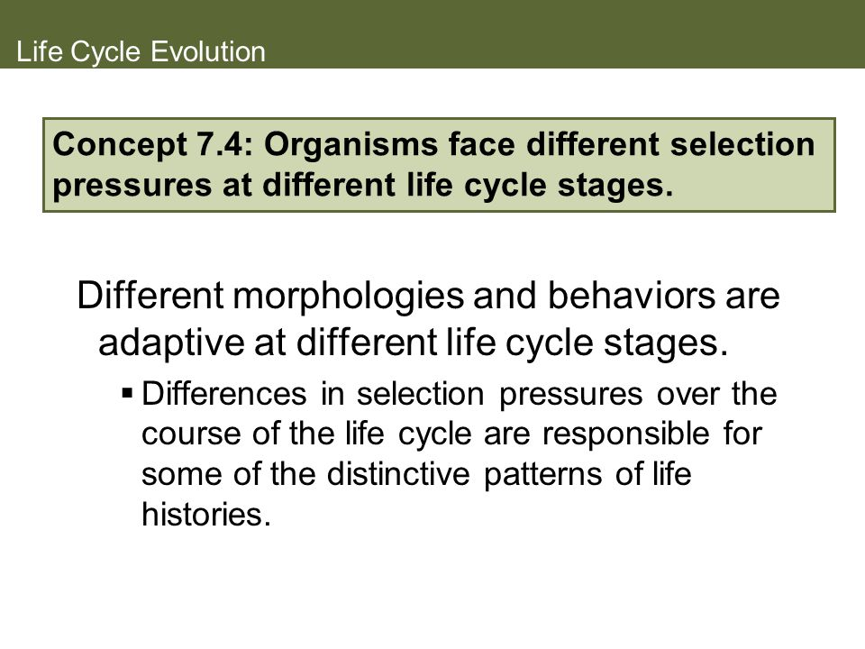 Life Cycle Evolution Different morphologies and behaviors are adaptive at different life cycle stages. Differences in selection pressures over the cou