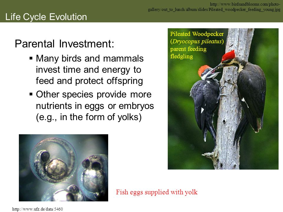 Life Cycle Evolution Parental Investment: Many birds and mammals invest time and energy to feed and protect offspring Other species provide more nutri