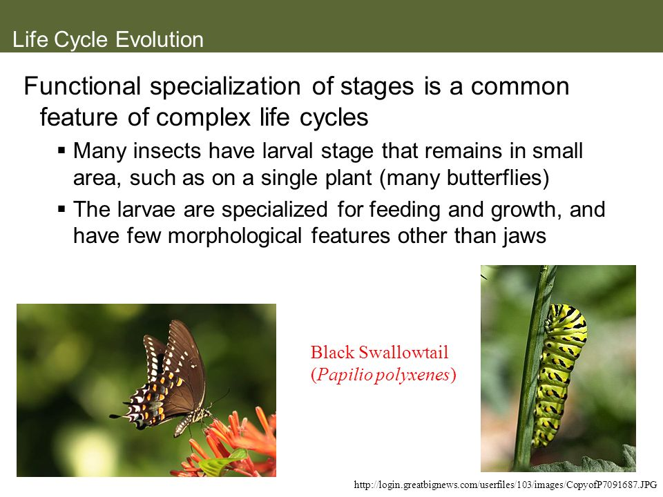 Life Cycle Evolution Functional specialization of stages is a common feature of complex life cycles Many insects have larval stage that remains in sma