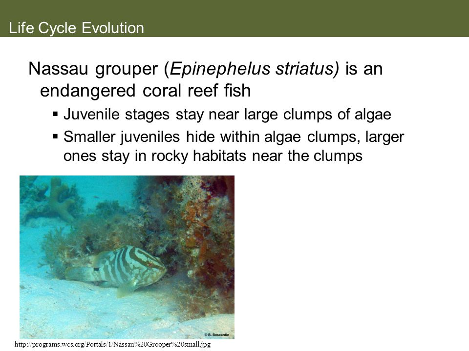 Life Cycle Evolution Nassau grouper (Epinephelus striatus) is an endangered coral reef fish Juvenile stages stay near large clumps of algae Smaller ju