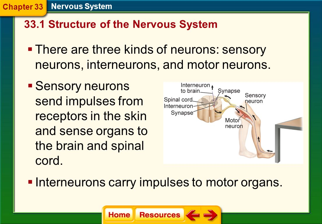 Dendrites pass signals they receive on to the cell body in electrical impulses. Nervous System The axon passes those impulses on to the other neurons