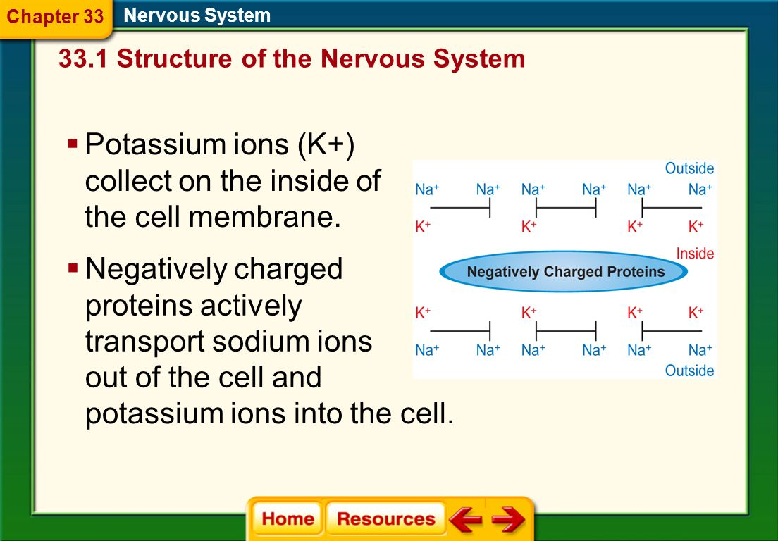 A Nerve Impulse Nervous System Neurons at rest do not conduct impulses. Sodium ions (Na + ) collect on the outside of the cell membrane. 33.1 Structur