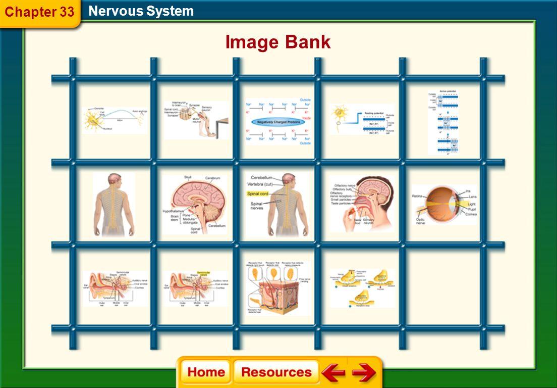 Glencoe Biology Transparencies Nervous System Chapter 33