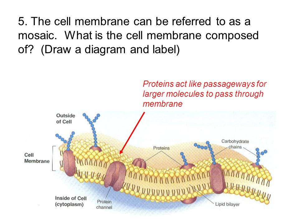 Proteins act like passageways for larger molecules to pass through membrane