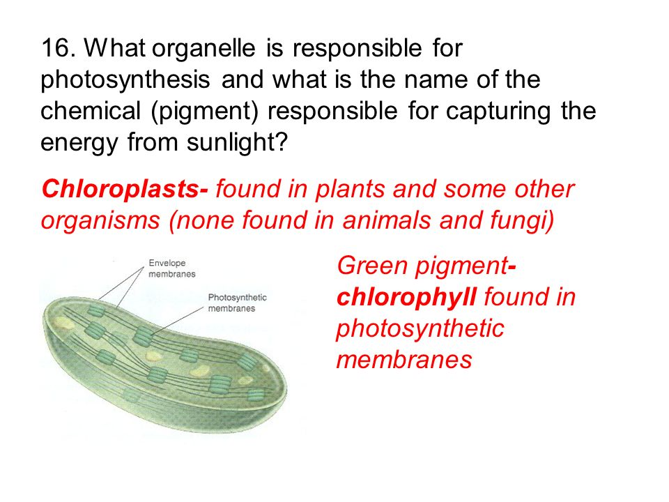 Chloroplasts- found in plants and some other organisms (none found in animals and fungi) Green pigment- chlorophyll found in photosynthetic membranes