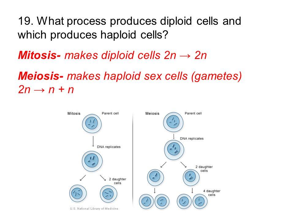 Mitosis- makes diploid cells 2n 2n Meiosis- makes haploid sex cells (gametes) 2n n + n