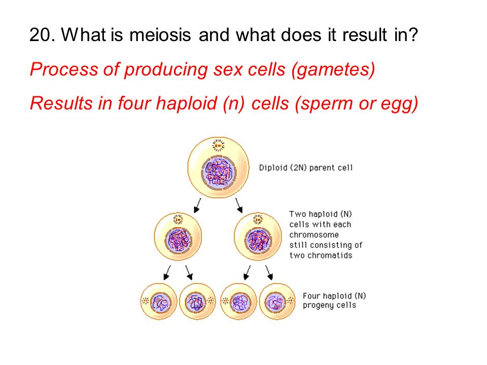 Process of producing sex cells (gametes) Results in four haploid (n) cells (sperm or egg)