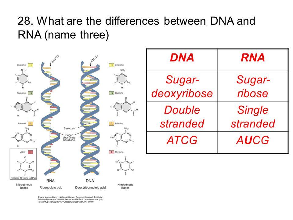 DNARNA Sugar- deoxyribose Sugar- ribose Double stranded Single stranded ATCGAUCG