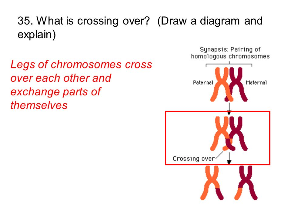 Legs of chromosomes cross over each other and exchange parts of themselves