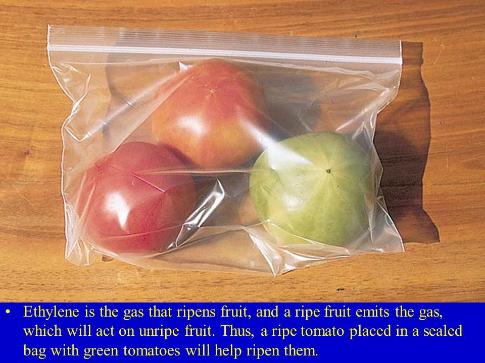 Ethylene is the gas that ripens fruit, and a ripe fruit emits the gas, which will act on unripe fruit. Thus, a ripe tomato placed in a sealed bag with