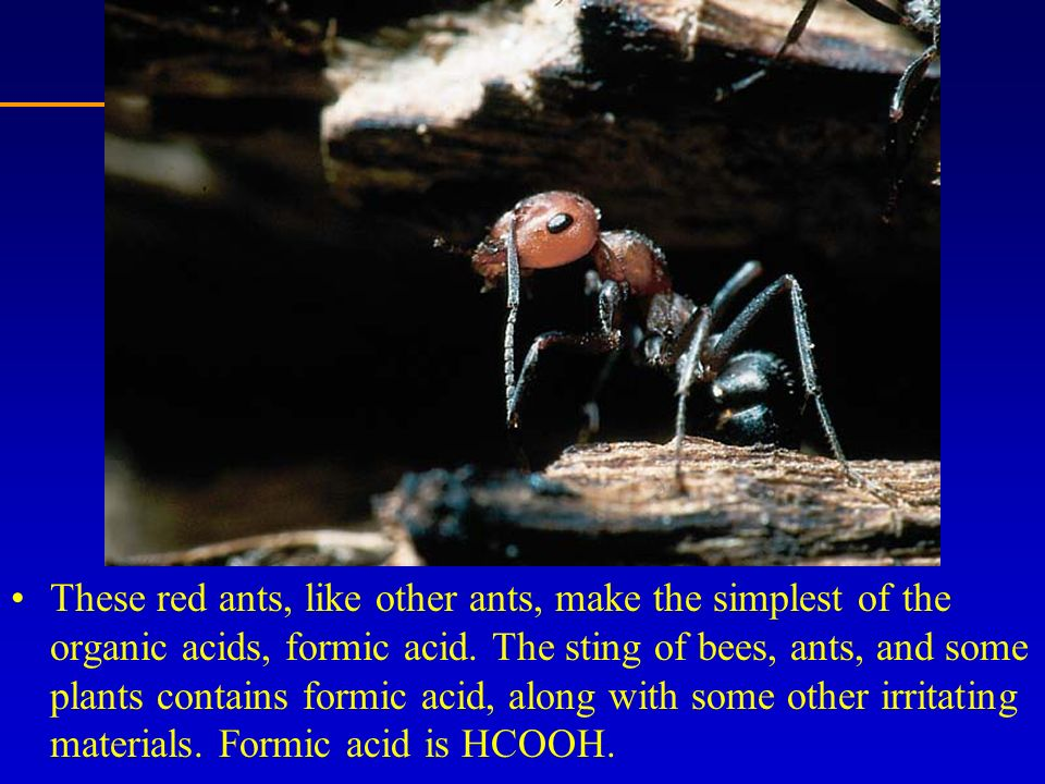 These red ants, like other ants, make the simplest of the organic acids, formic acid. The sting of bees, ants, and some plants contains formic acid, a