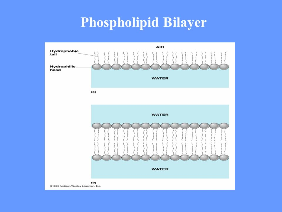 Phospholipid Bilayer