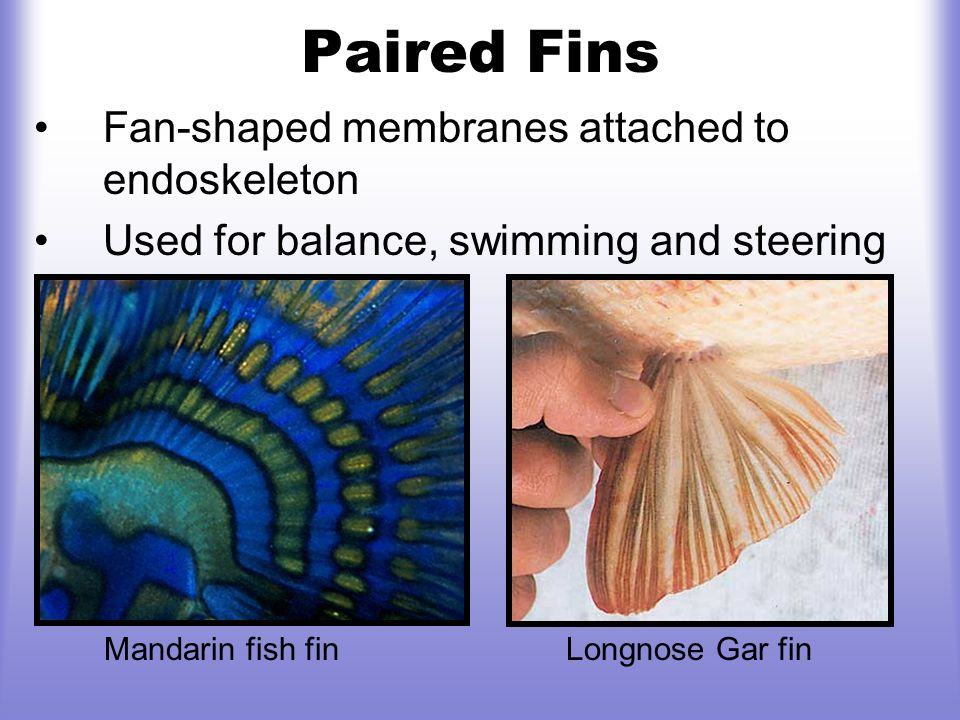 Paired Fins Fan-shaped membranes attached to endoskeleton Used for balance, swimming and steering Mandarin fish fin Longnose Gar fin